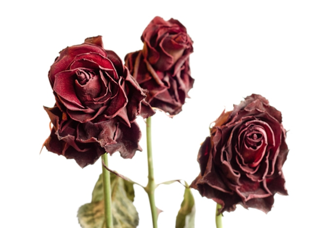 withered-roses-2-1246301.jpg